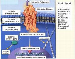 Fig. 1 Il recettore occupato attiva molecole cellulari responsabili della risposta biologica