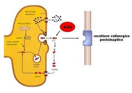 Fig. 1 Sintesi e rilascio di acetilcolina. AchE = acetilcolinesterasi