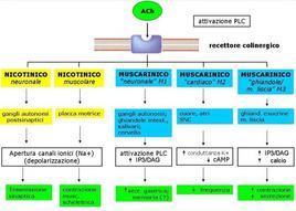 Fig. 2 Sottotipi recettori colinergici