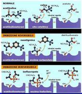 Fig. 5 Meccanismo d'azione degli anticolinesteasici