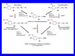 Fig. 6 Principali vie metaboliche delle catecolamine