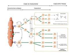 Fig. 5 Attivazione dei linfociti.