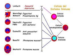 Fig. 2 Cellule del sistema immunitario innato.