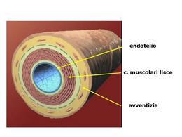 Fig. 1 Rappresentazione schematica della struttura di un'arteria.