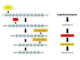 Fig. 5 Formazione delle angiotensine a partire dall'angiotensinogeno.