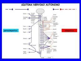 Fig. 3 Organi innervati dal sistema nervoso autonomo