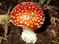 Amanita muscaria (ovulo malefico). Fonte: Dipartimento di Botanica Università di Catania
