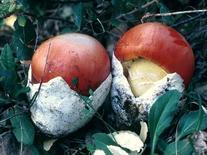 Amanita cesarea. Fonte: Dipartimento di Botanica Università di Catania