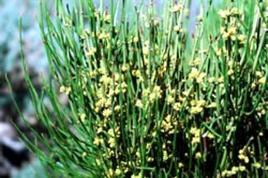 Ephedra sinica. Fonte: Vitamins diary