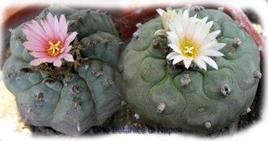 Lophophora williamsii. Fonte: Orto Botanico di Napoli