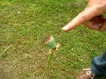 Papaver bracteatum. Fonte: Borrelli/Izzo