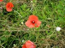 Papavero rosso dei campi. Fonte: Izzo A.A.