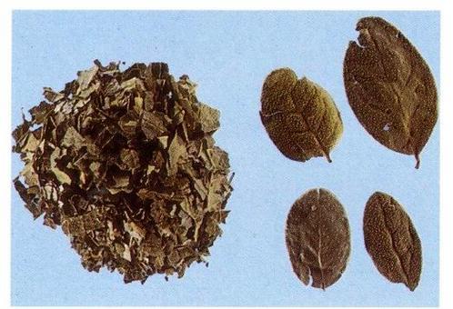 Foglie di Peumus boldus, da Capasso et al. Farmacognosia. Springer 1999