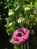 Papaver somniferum. Fonte: Wikimedia Commons