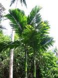 Areca catechu. Fonte: Tropical plant