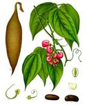 Physostigma venenosum. Fonte: Academic Dictionaries and Encyclopedias