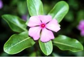 Catharanthus roseus. Fonte: Michigan Tech