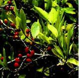 Erythroxylum coca (frutto). Fonte: Wikimedia Commons