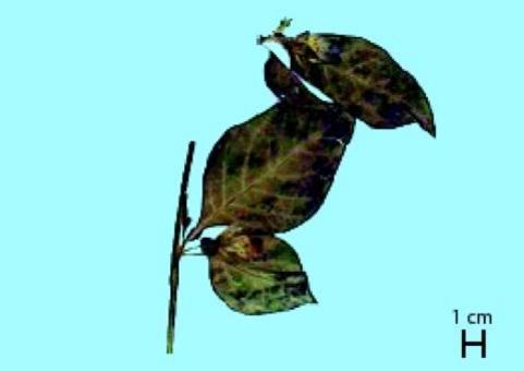 Atropa belladonna (foglia), da Capasso et al., 2007, Farmacognosia Applicata, Springer
