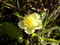 Ilex paraguariensis (fiore). Fonte: Panoramio
