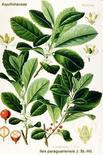 Ilex paraguariensis (frutti e foglie). Fonte: Biotox