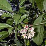 Cola acuminata (fiori in gruppi ascellari). Fonte: University Hawaii