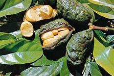 Frutto. Fonte: Plantas medicinal