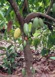 Theobroma cacao. Fonte: Cornell University