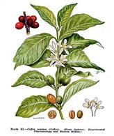 Coffea arabica. Fonte: Wikimedia Commons