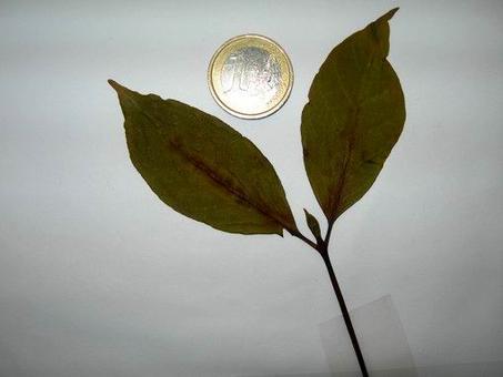 Coffea arabica (foglia). Fonte: Borrelli/Izzo