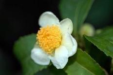 I fiori sono bianchi ascellari. Fonte: Plants systematics