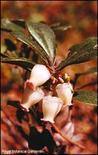 Arctostaphylos uva ursi. Fonte: Plant Watch