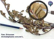 Arctostaphylos uva ursi, foglie essiccate. Fonte: Università di Padova