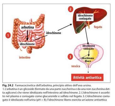 Azione antisettica dell'arbutina. Fonte: Capasso/Grandolini/Izzo, Fitoterapia, Springer, 2006