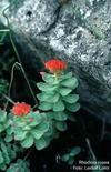 Rhodiola rosea. Fonte: Ntnu Universitet