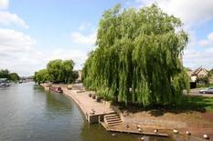 Salix alba. Fonte: Barcham