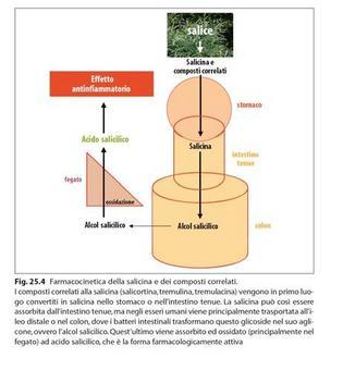 Conversione della salicina ad acido salicilico. Fonte: Capasso/Grandolini/Izzo, Fitoterapia, Springer, 2006
