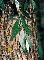 Salix alba (corteccia). Fonte: Minerva Unito
