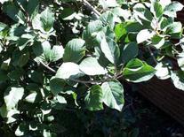 Rhamnus frangula. Fonte: Biology Missouri State