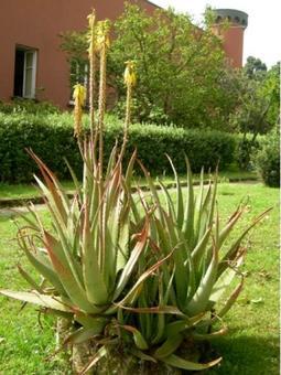 Aloe vera. Fonte: Borrelli/Izzo