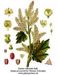 Rheum officinale. Fonte: Wikimedia Commons