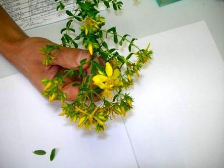 Hypericum perforatum. Fonte: Borrelli/Izzo