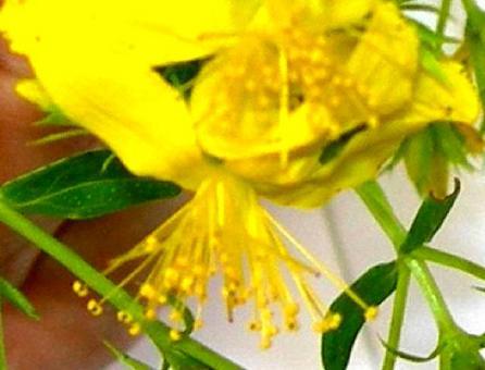 Particolare del fiore (si notino i numerosi stami). Fonte: Borrelli/Izzo
