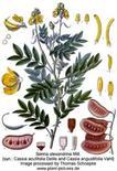 Cassia acutifolia. Fonte: Plant pictures
