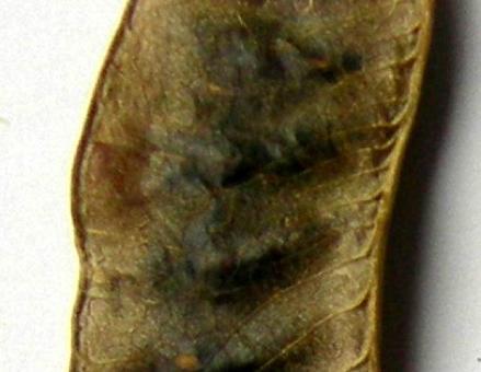 Particolare del frutto (rigonfiamenti in corrispondenza dei semi). Fonte: Capasso/Grandolini/Izzo, Fitoterapia, Springer, 2006