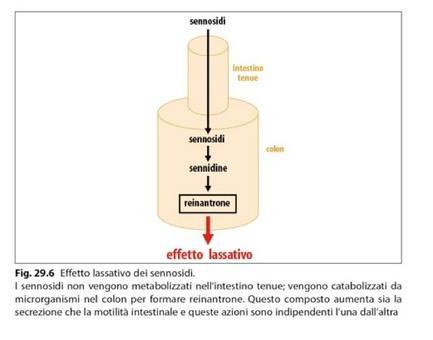 Effetto lassativo dei sennosidi. Fonte: Capasso/Grandolini/Izzo, Fitoterapia, Springer, 2006
