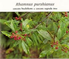 Rhamnus purshiana. Fonte: Indigenous remedies