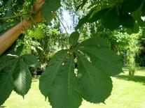 Aesculus hippocastanum (foglie e frutti). Fonte: Izzo A.A.