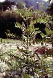 Glycyrrhiza glabra. Fonte: Rain tree