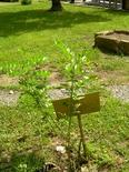 Glycyrrhiza glabra. Fonte: Borrelli/Izzo
